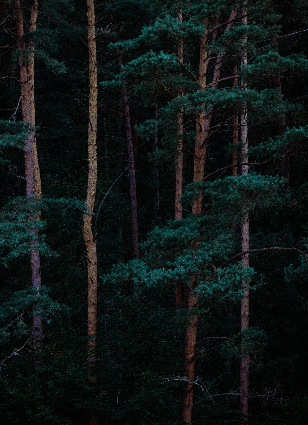 Trees in a dark West Coast forest.